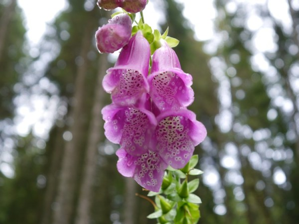 Digitalis purpurea - Roter Fingerhut